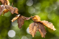 Beech leaves, Larachmor Gardens