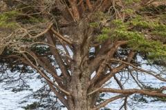 Scots pine detail, Camas na Rhuaidhe