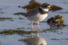 Ringed plover, Traigh House Beaches