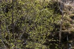 Birch leaves, Glen Beasdale