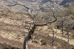 Oak tree, Glen Beasdale