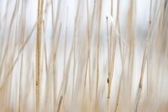 Backlit reeds, Camas na Ruaidhe