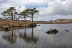 Scots pines and reeds, Loch a Bhada Dharaich