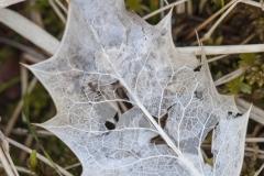 Leaf skeleton, Camas na Ruaidhe