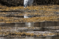 Grey heron, Ru Peninsula