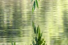 Willow, River Don near Sprotborough